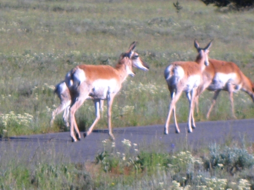 antelope on hike & bike trail