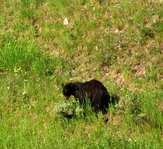 bear cub better 785