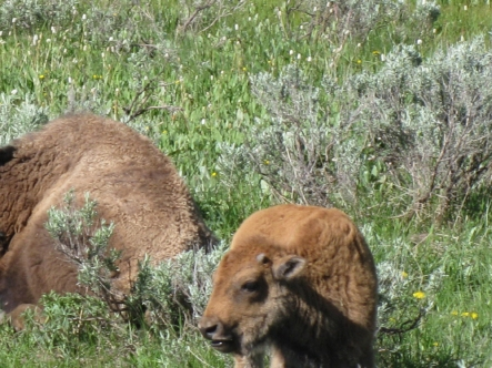 bison calf 171
