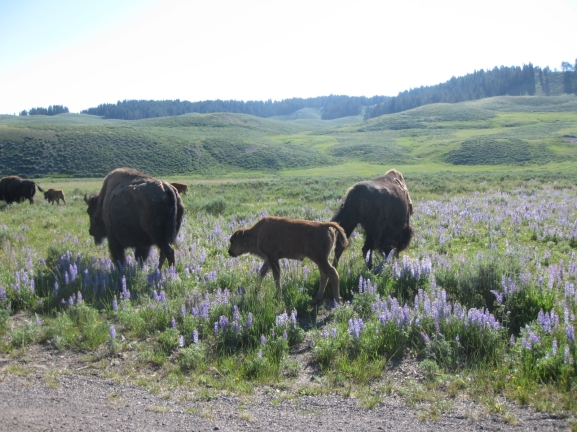 Bison & Lupine