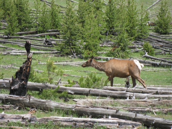 good elk 90