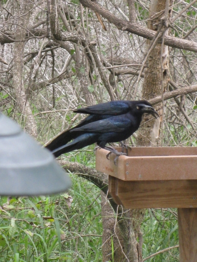 Great-tailed Grackle, much longer than a Common Grackle
