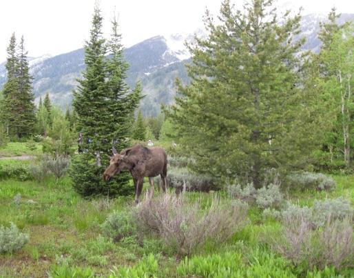 moose 04