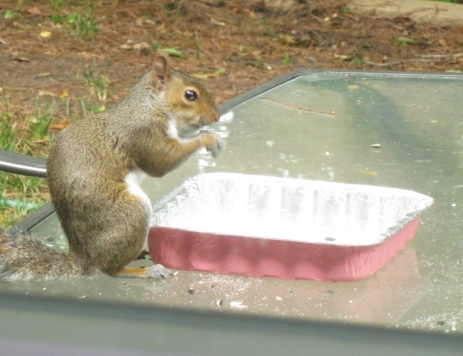 Squirrel Eating Birdseed on Table