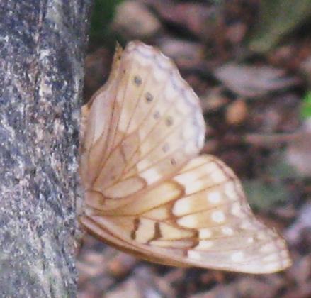 Tan Butterfly
