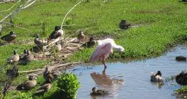 Ducks & Spoonbills