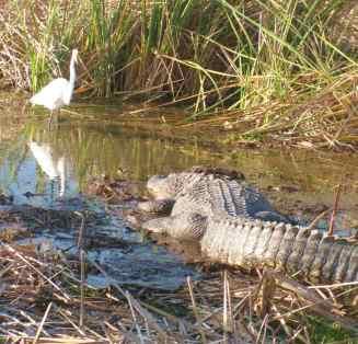 Gator & Egret 3