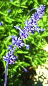 Lavendar Tall Flower