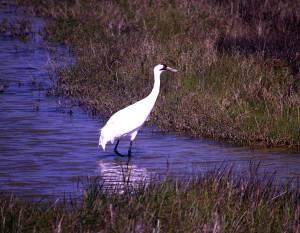 Whooping Crane, Aransas National Wildlife Refuge, Texas